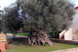 The Olive Tree of Vouves, Crete (Ancient Olive Tree)
